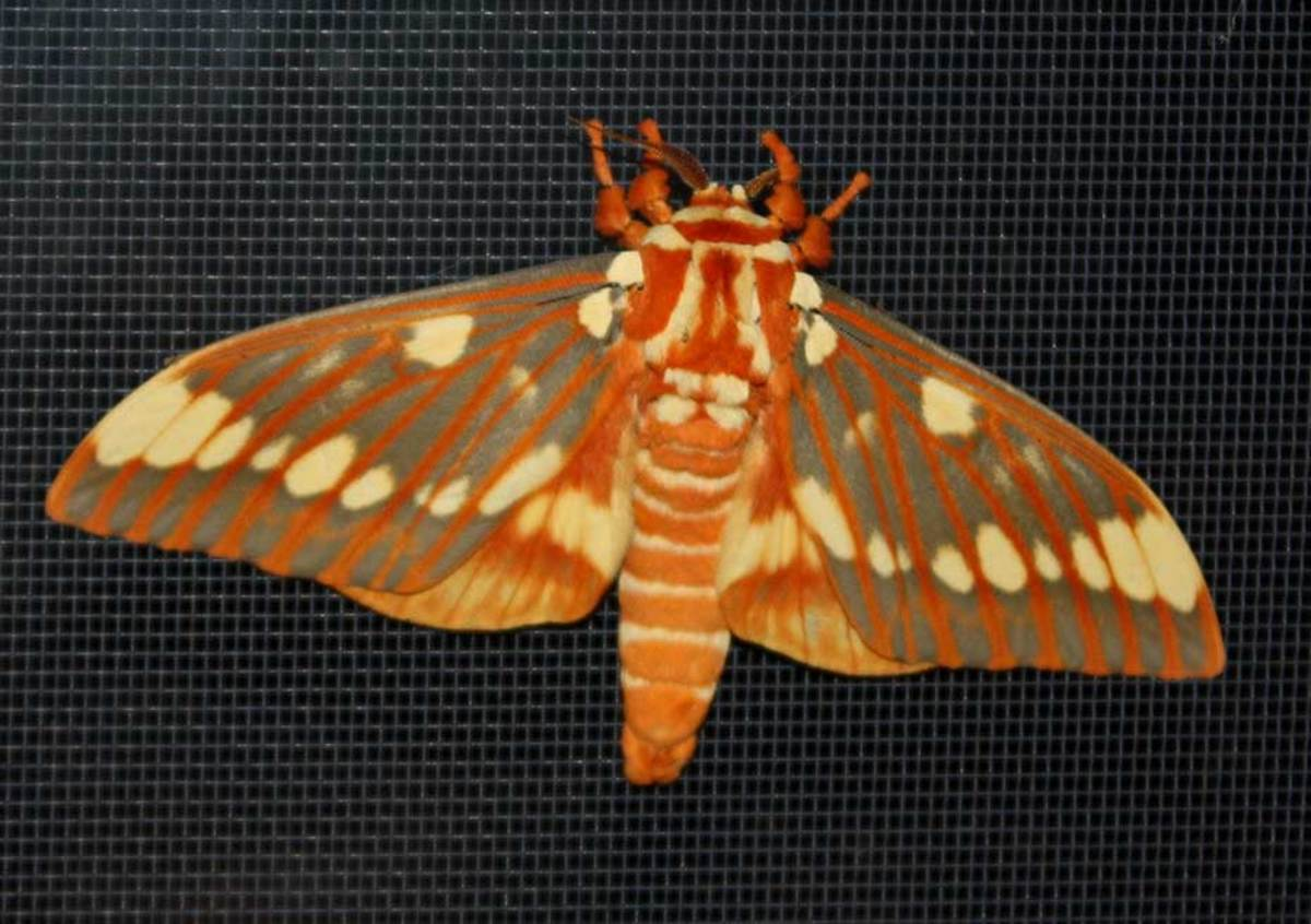But, so is the regal moth with a wingspan of 4-6 inches (and, females are larger than males).  They are common southward but rare northward. It is regarded as a threatened species in some areas.