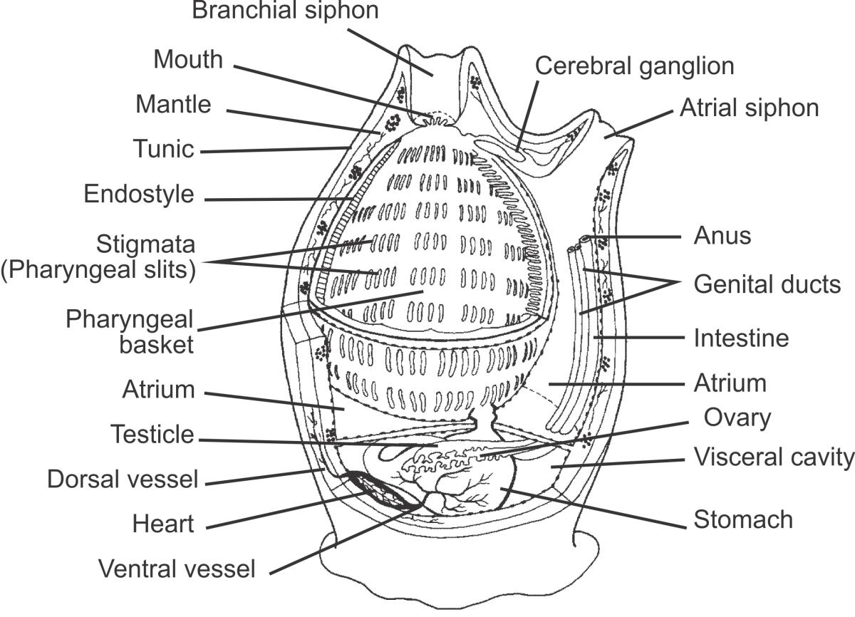 Internal anatomy of an ascidian tunicate