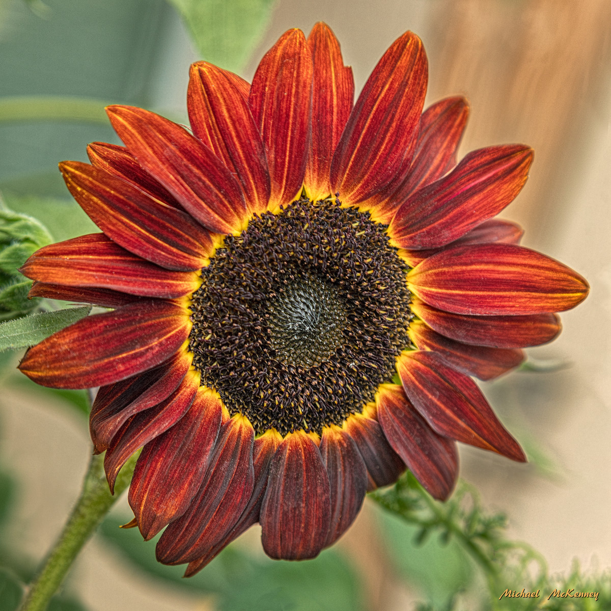 This is the Moulin Rouge sunflower, a different variety grown by our friends, Joseph and Eileen Lagarde in New Mexico.