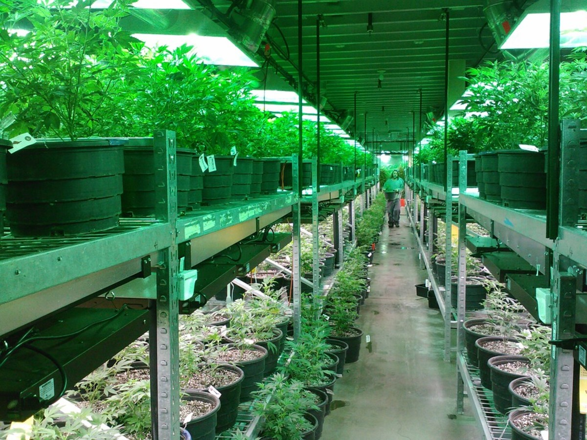 Marijuana Growing Greenhouse.