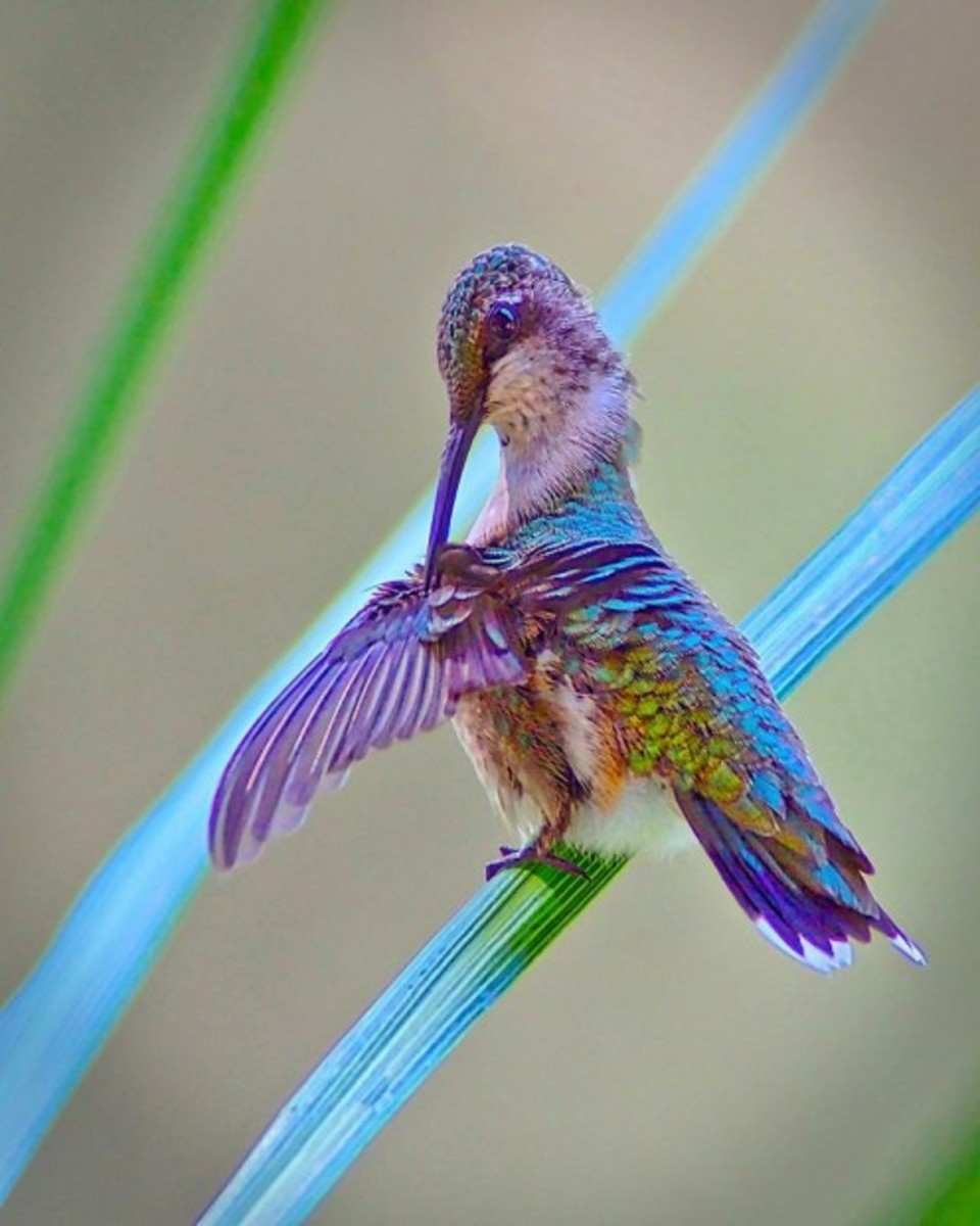 I don't know what type of hummingbird this is, but it is a beauty!