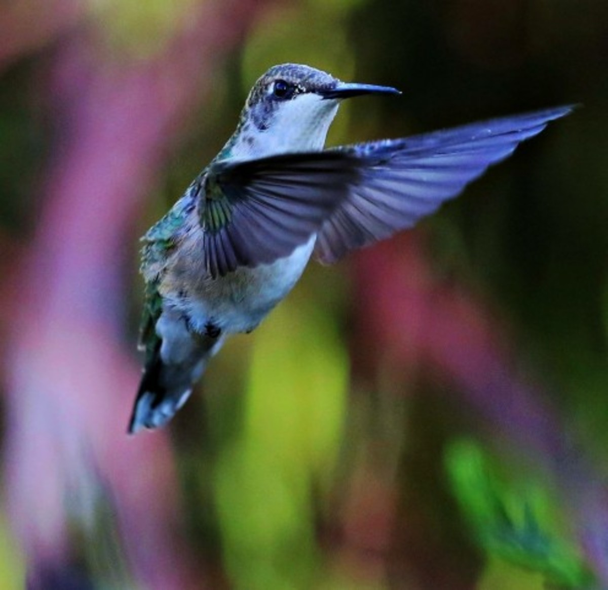 I believe this is a blue-throated hummingbird
