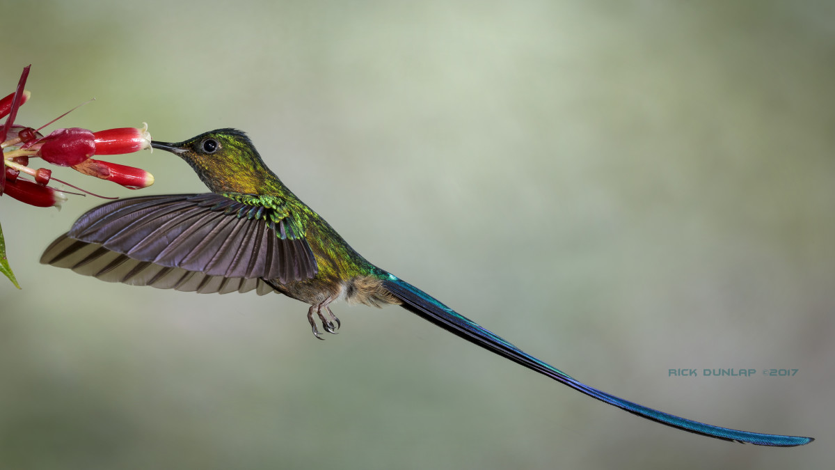 Violet-tailed sylph hummingbird, taken in Ecuador, where there are approximately 130 species of the tiny bird.