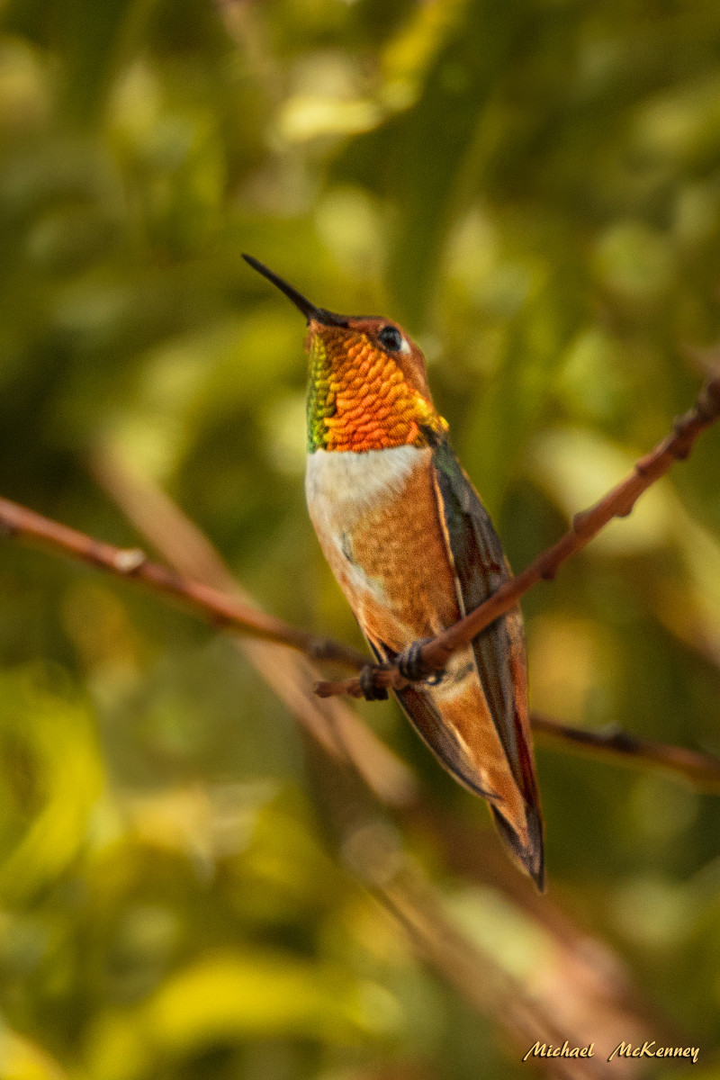 This rufous hummingbird has claimed our backyard as his own territory and successfully runs others away when he's around. Very territorial and extremely aggressive.  But so cute!