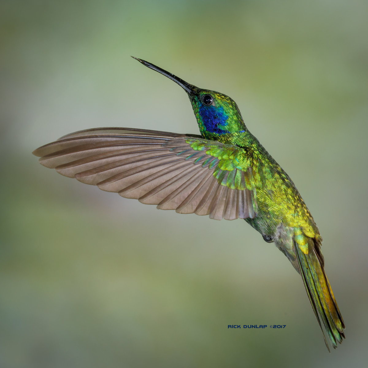 Lesser violet-ear hummingbird, taken in Ecuador.
