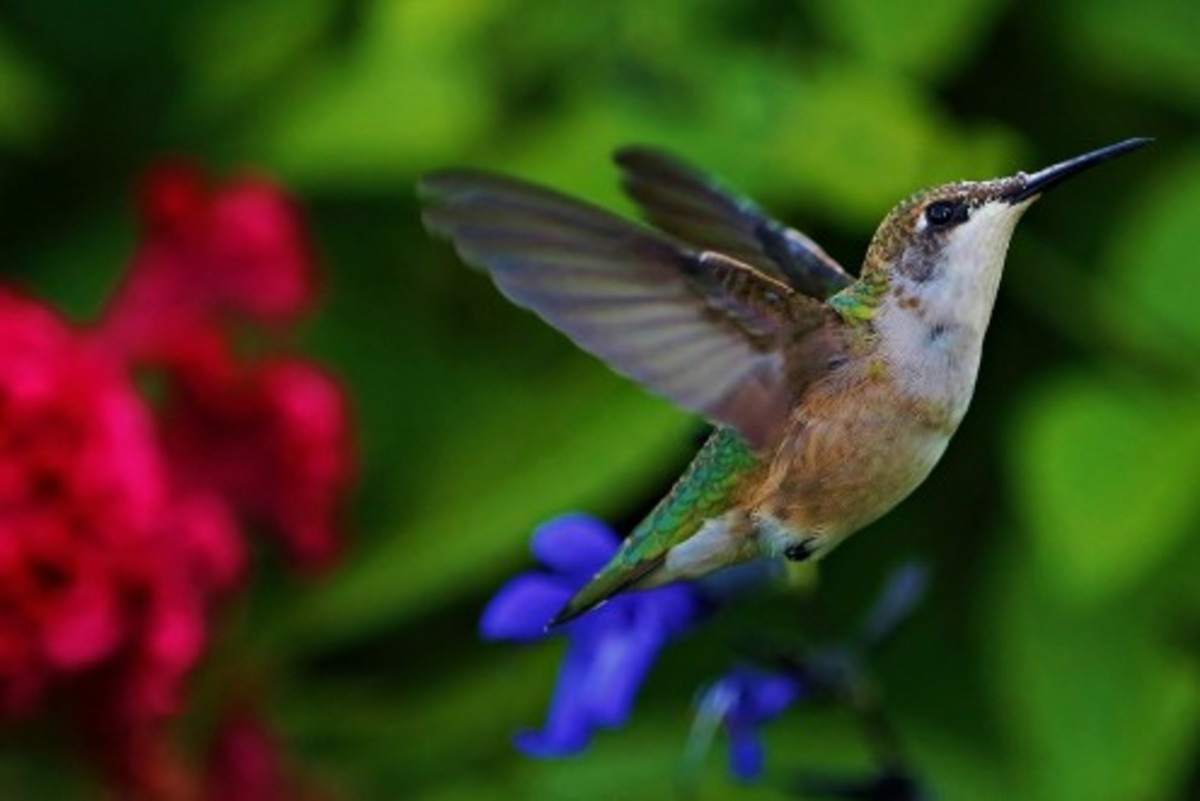 hummingbirds-you-are-likely-to-see-in-new-mexico