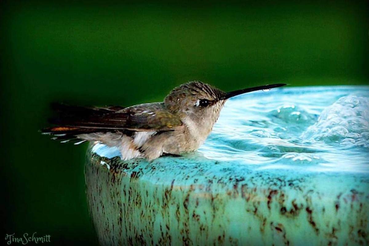 Hummingbird having a nice bath in Los Lunas, NM.