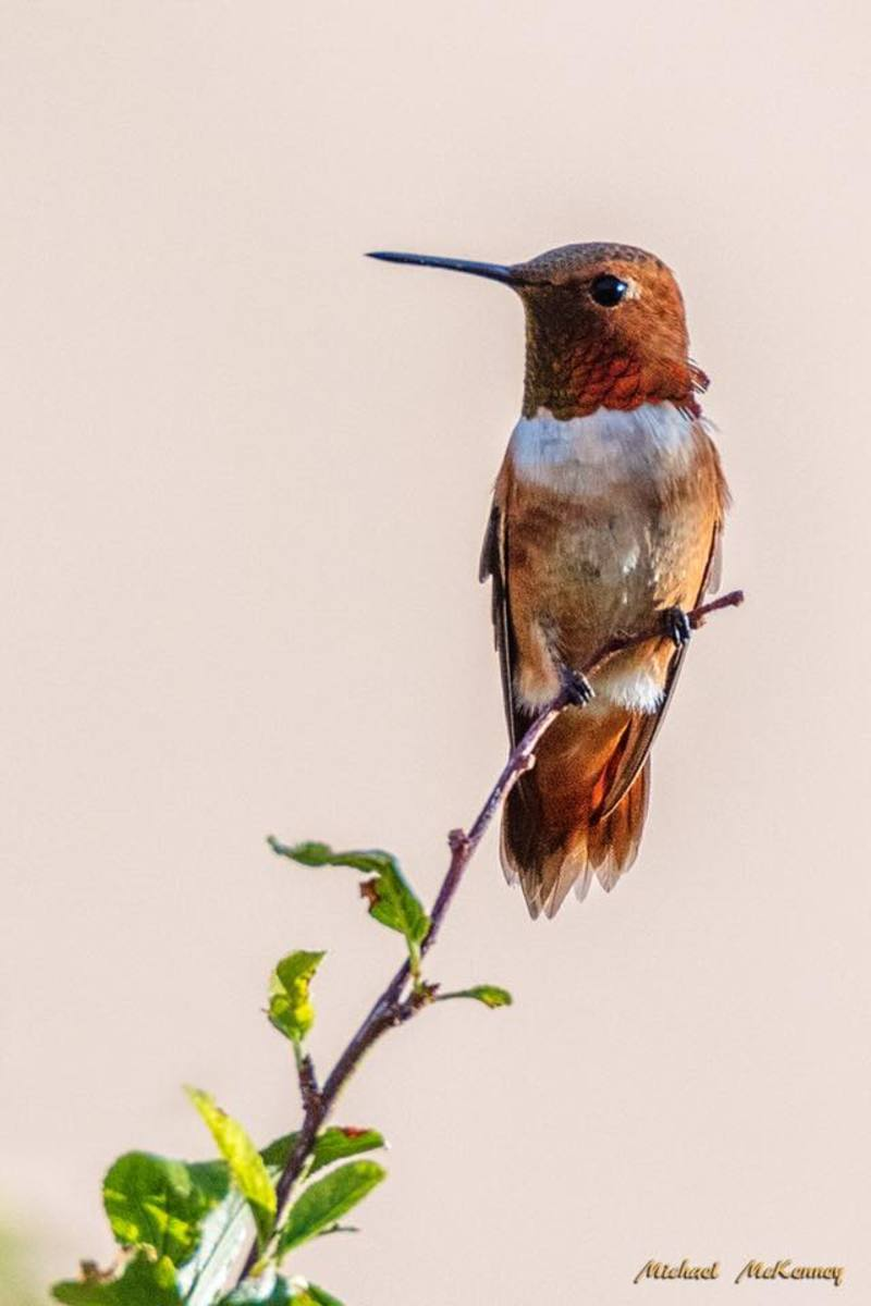 This guy is a rufous hummingbird and he loves our backyard!