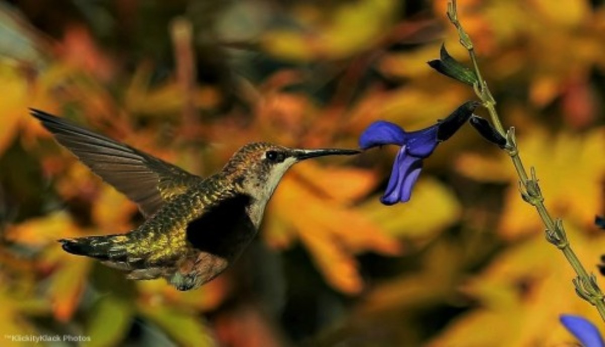 This is possibly a buff-bellied hummingbird.