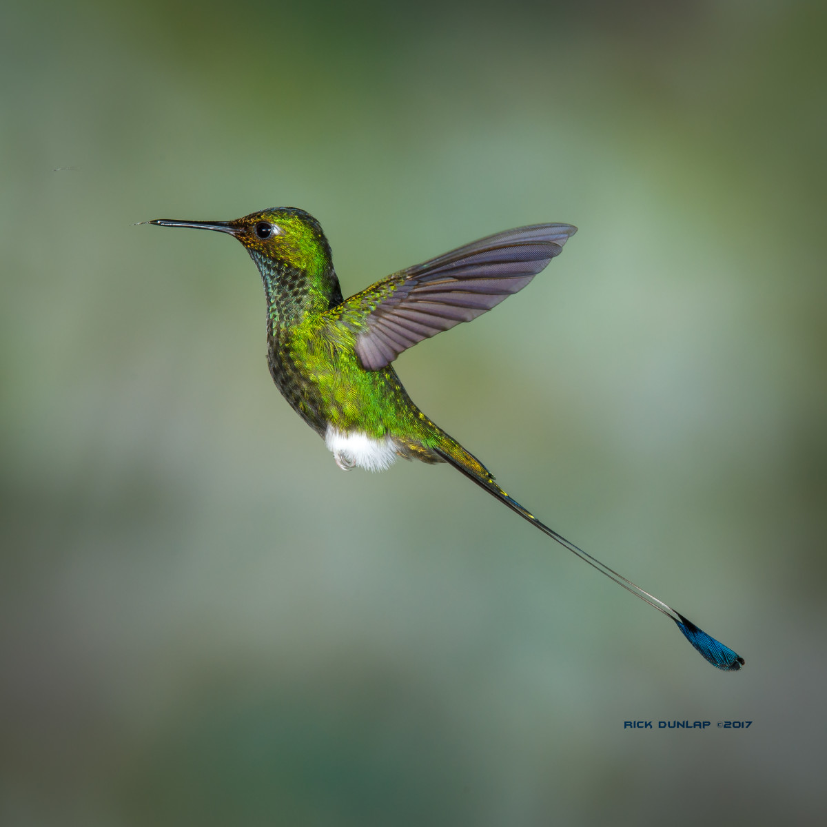 Booted racket-tail hummingbird. taken in Ecuador.