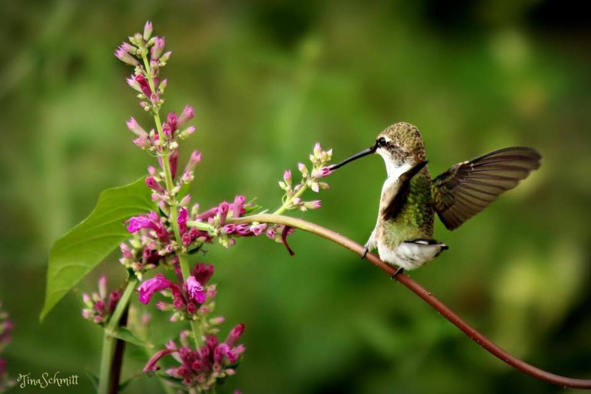 The nectar in the flowers keeps the hummingbirds coming back.
