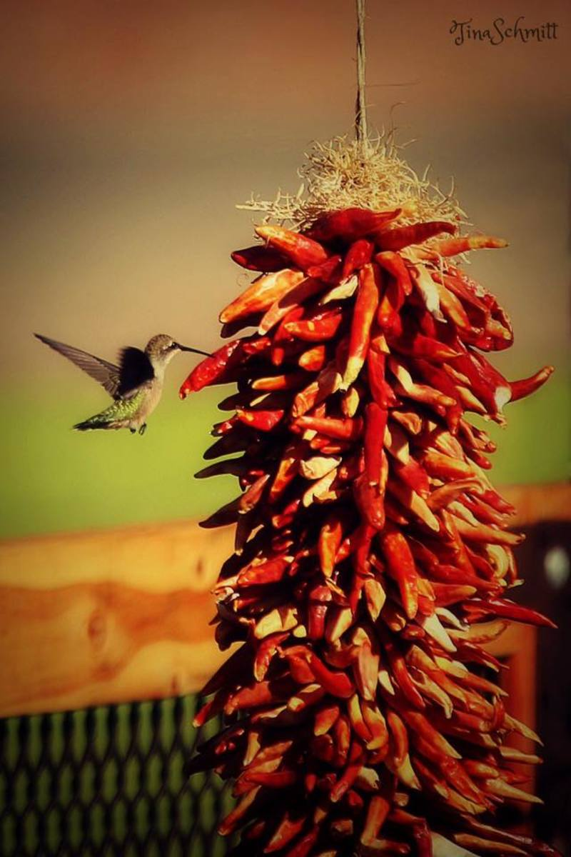 This hummingbird probably won't be back for seconds.