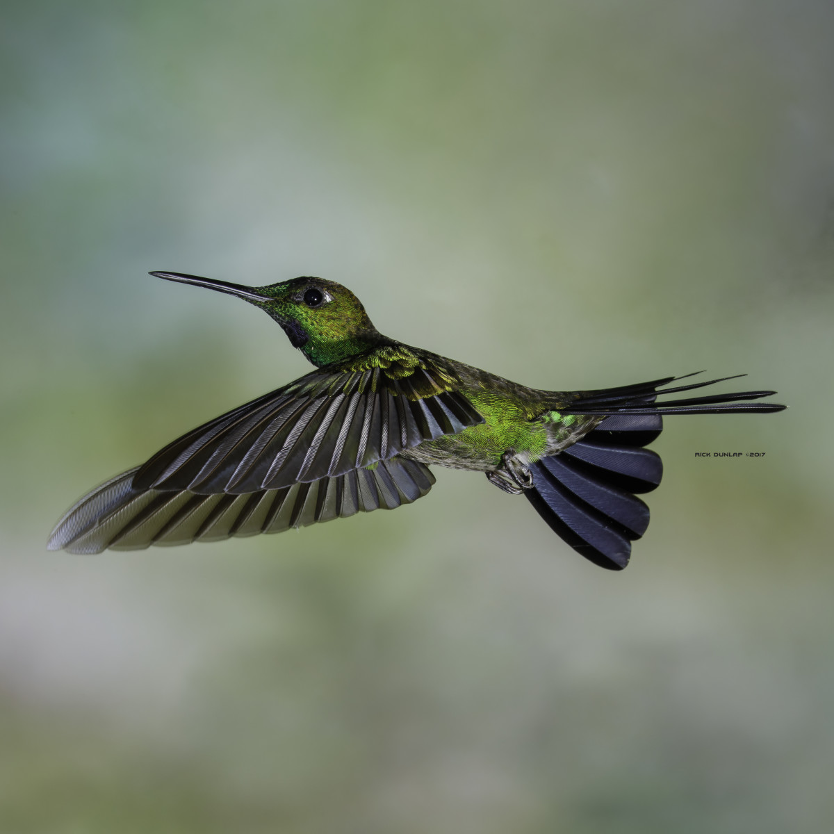 Green-crowned brilliant hummingbird, taken in  Ecuador.