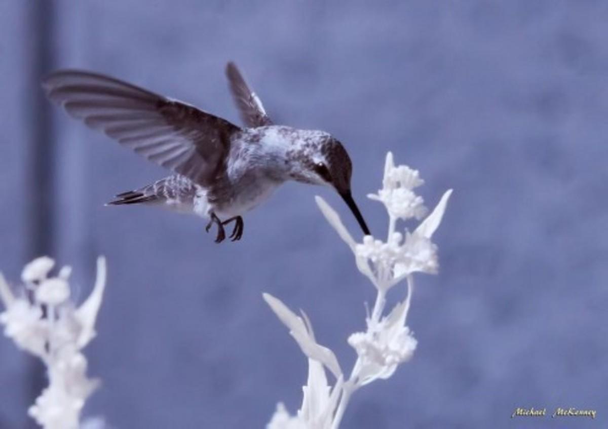 An unidentified hummingbird shot in infrared.