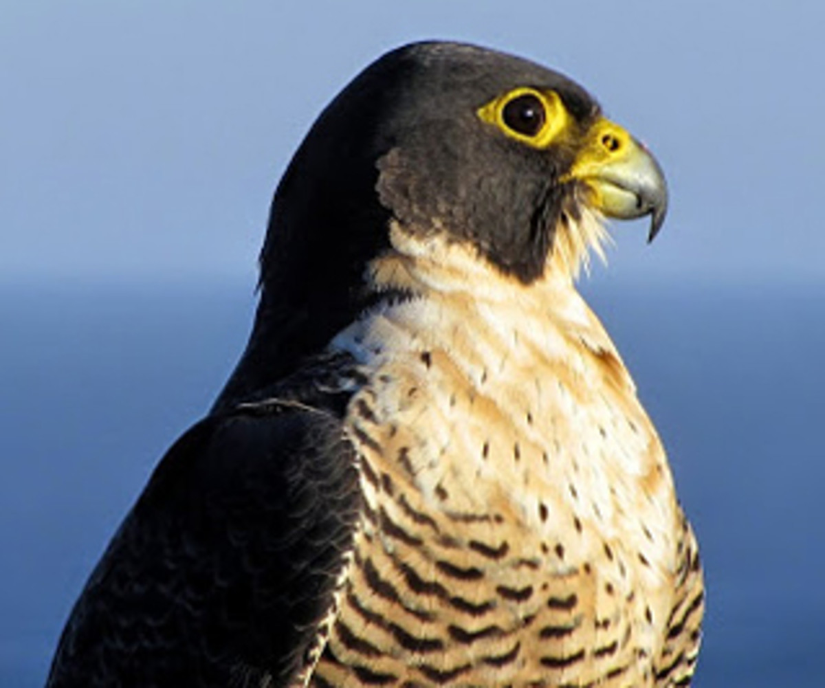 Peregrine Falcon: the fastest creature on earth!