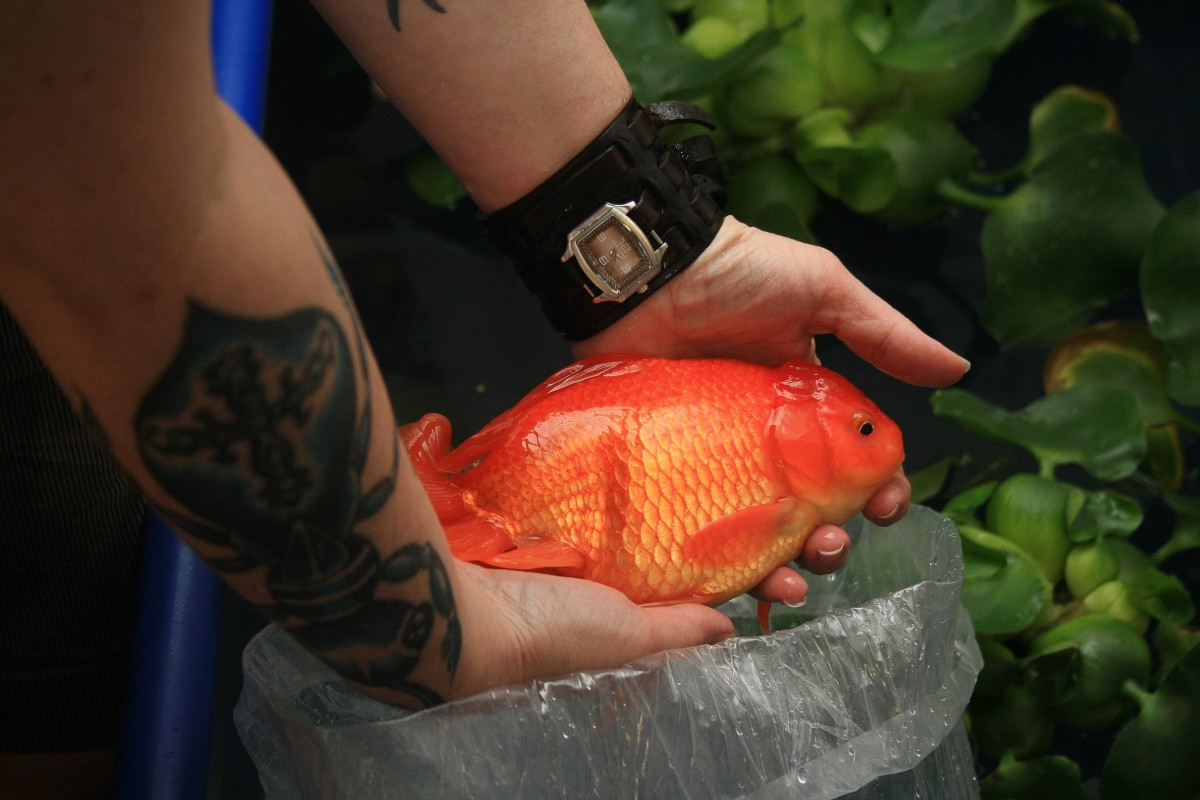 A giant goldfish from a pond