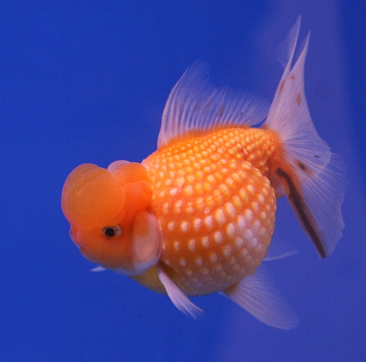 A pearlscale goldfish
