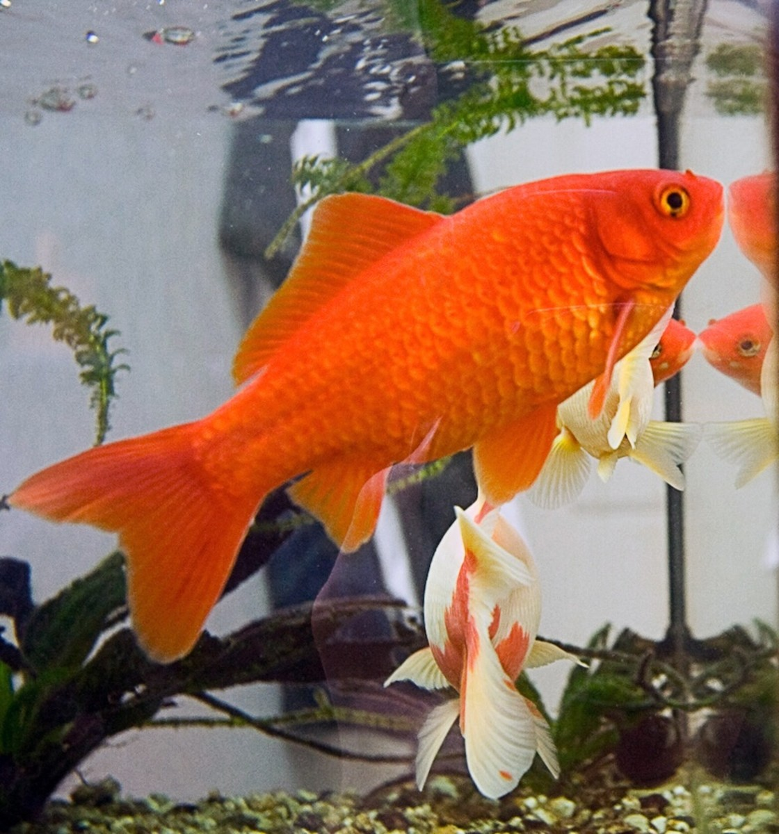A beautifully coloured goldfish
