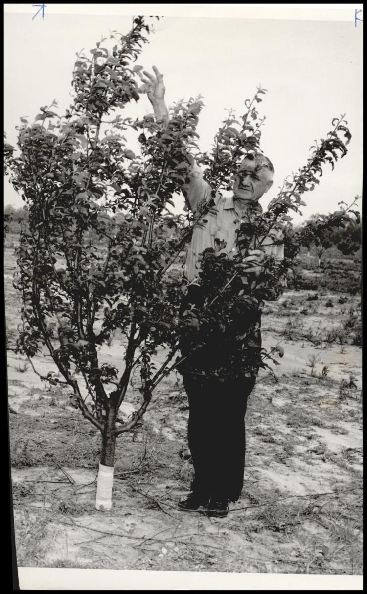 E. L. Costner stands beside a 3-year-old apple tree in a 20-acre experimental orchard atop Cavanal mountain. This photo, taken in 1960, shows that the tradition that Captain McKenna started with his orchard continued for many, many years.