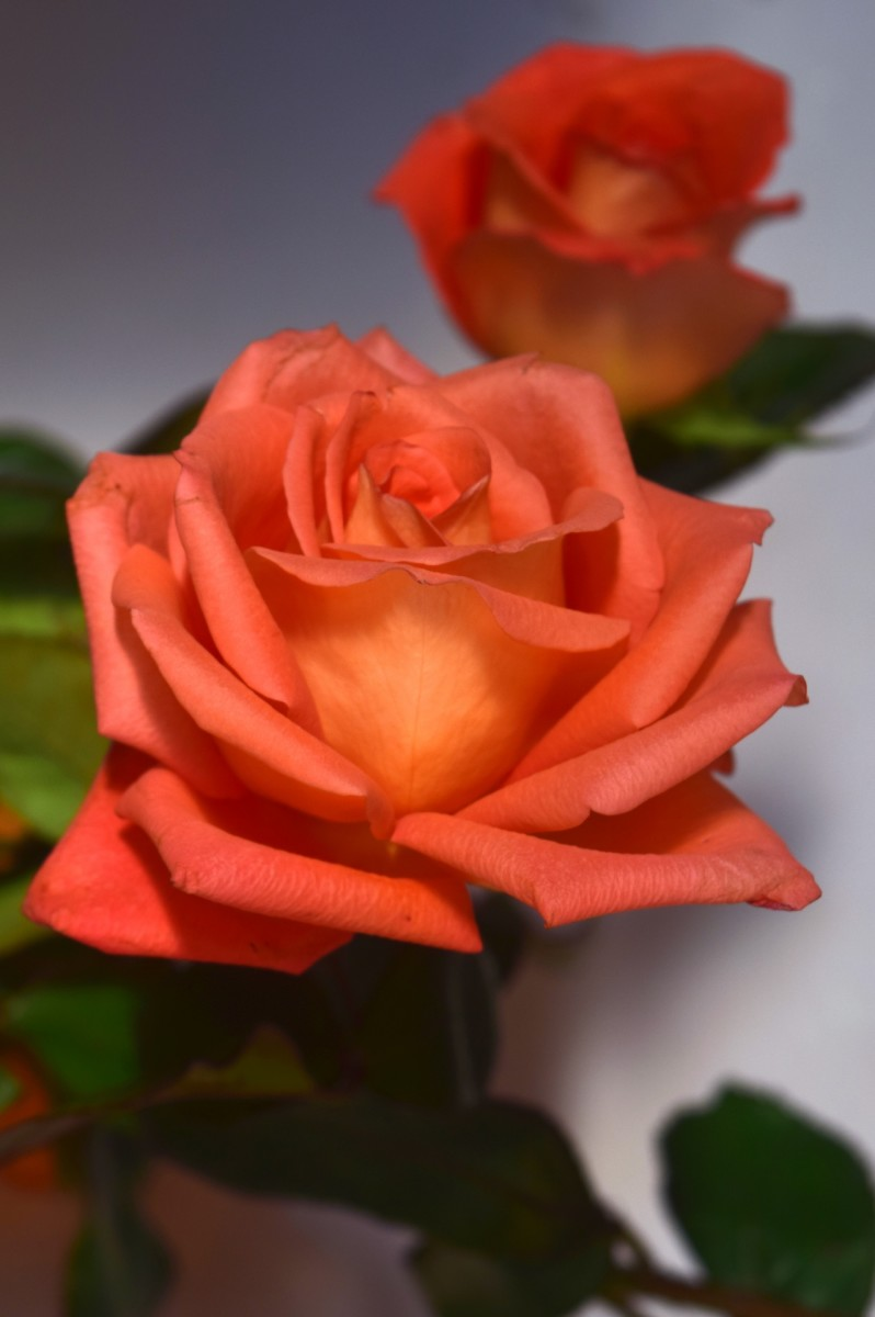 Orange roses are commonly used in celebrations.