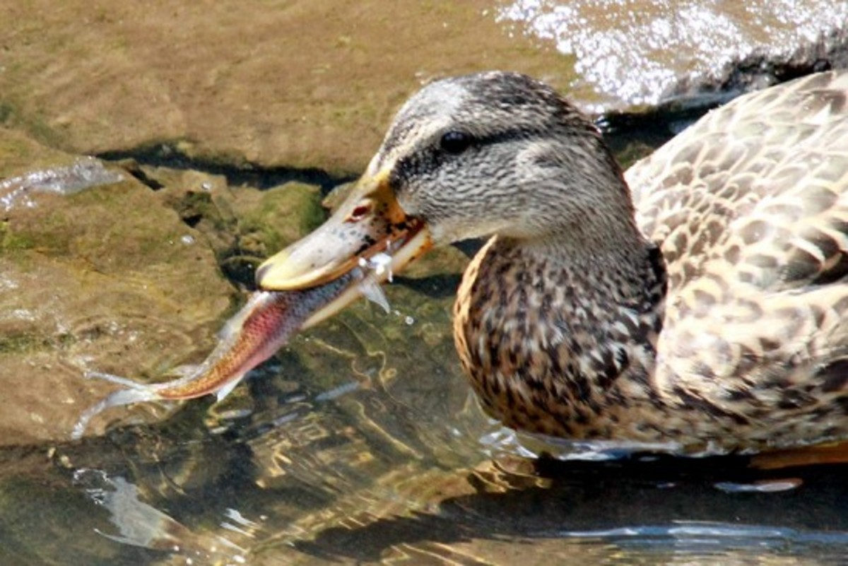 Do ducks eat fish owlcation for What does fish eat