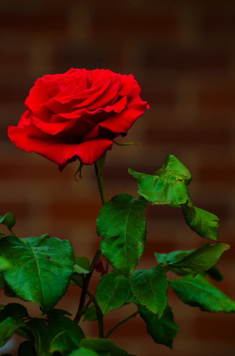 "The red rose stands for passionate love. To hand someone a single red rose means ""I love You."""