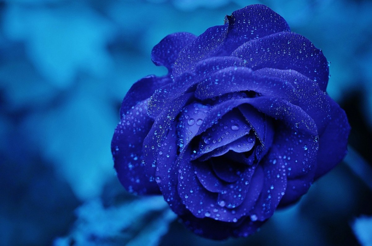 The blue rose bears the beauty of rose petals, and the magical quality of it's color.