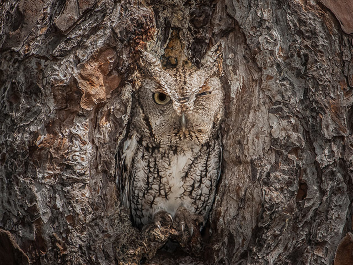 This owl is able to cleverly disguise itself in an attempt to avoid predators such as eagles, which have eyesight much stronger than that of the average human - four to eight times stronger, in fact.