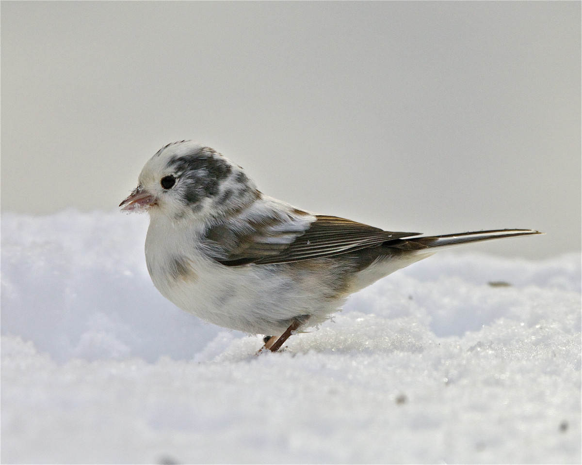 This leucistic junco has normal-looking eyes and its appearance is typical of birds that are affected by this genetic disorder.