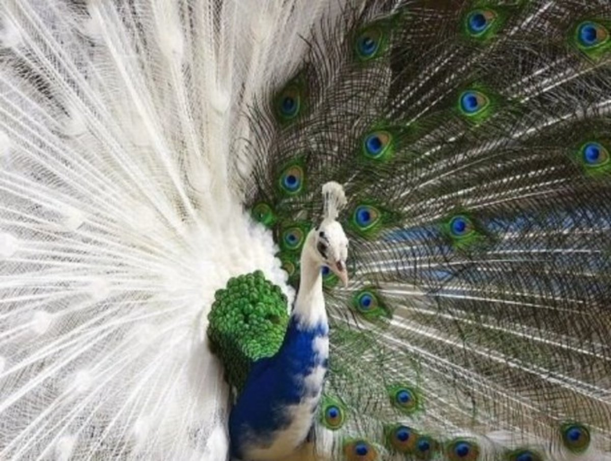 If you prefer a white peacock, as well as one with colors, you will love this one which is half of each.  In my interpretation, this is not an albino peacock, but rather a peacock with leucism, as the eyes are normal and not pink.