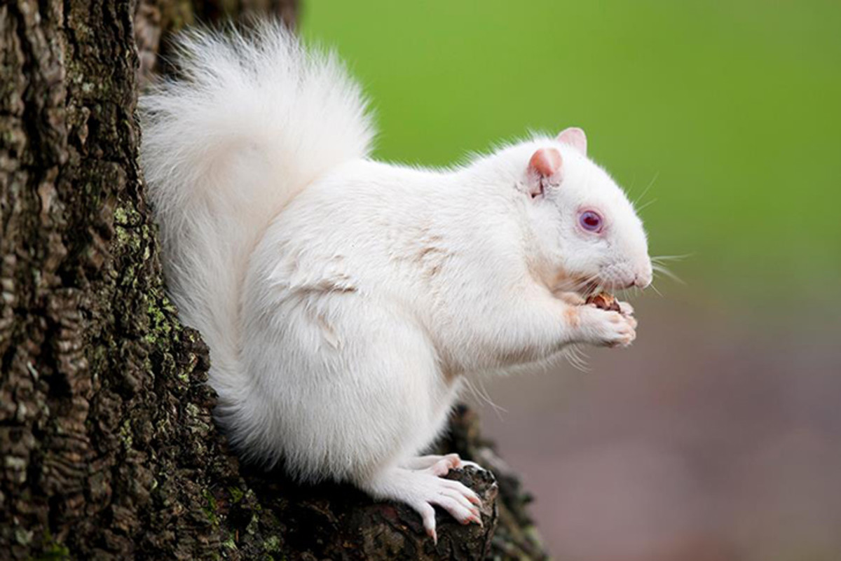 "The township of Kenton, Tennessee is said to have a population of 200 albino squirrels like this one.  Three other towns in the U.S. refer to themselves as being the ""home of the white squirrels."""