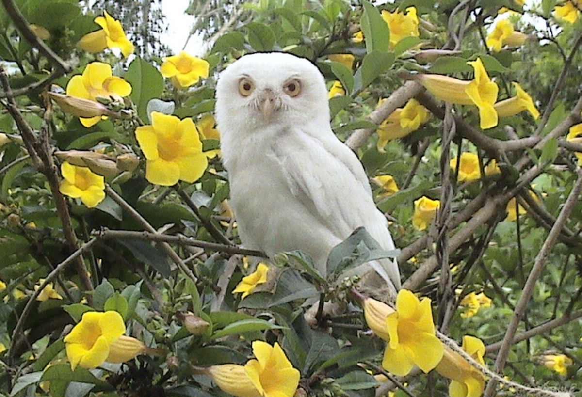 This leucistic owl living in the wild could never camouflage itself as well as the owl in the photograph above, which blends perfectly into a tree.