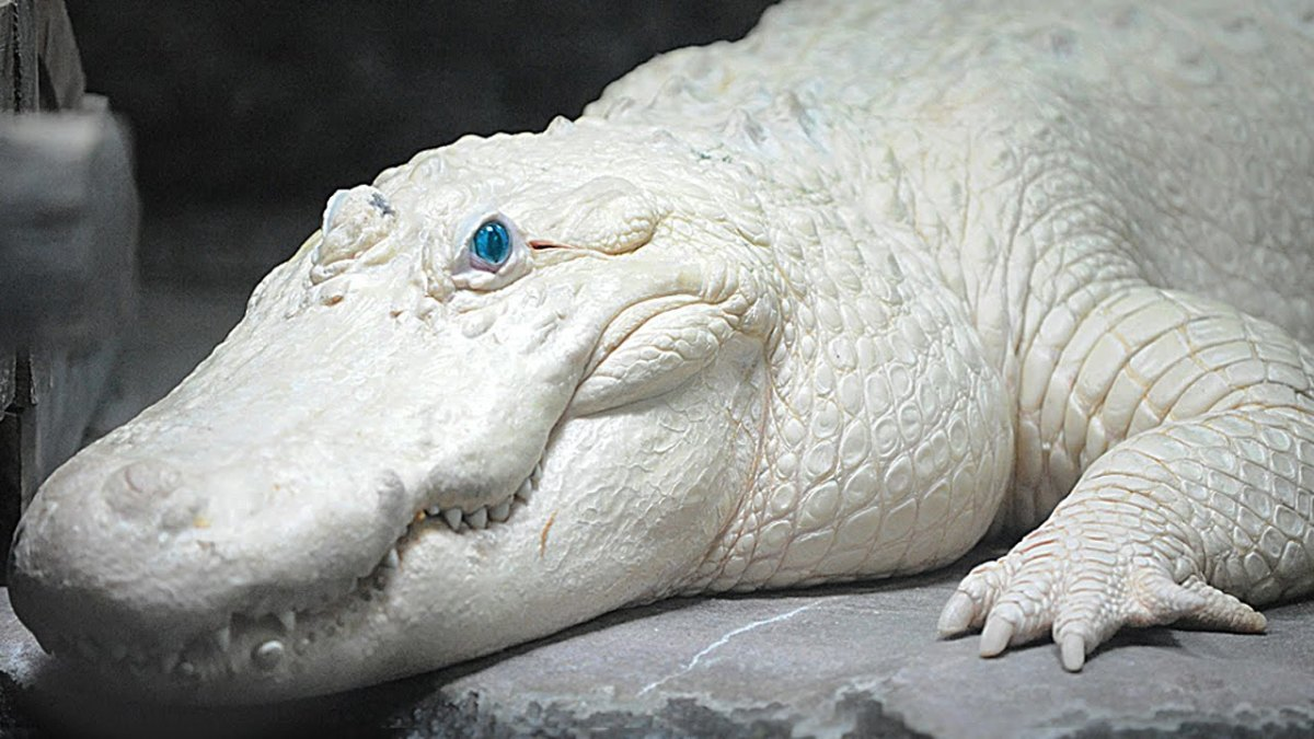 This is a leucistic alligator.  His eyes are blue, which is indicative of leucism rather than albinism.