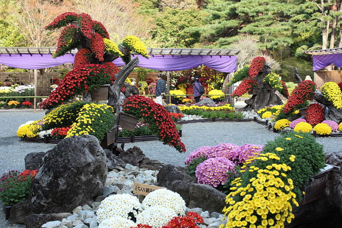 A Kiku Festival.  Notice the shapes that the plants have been trained into.