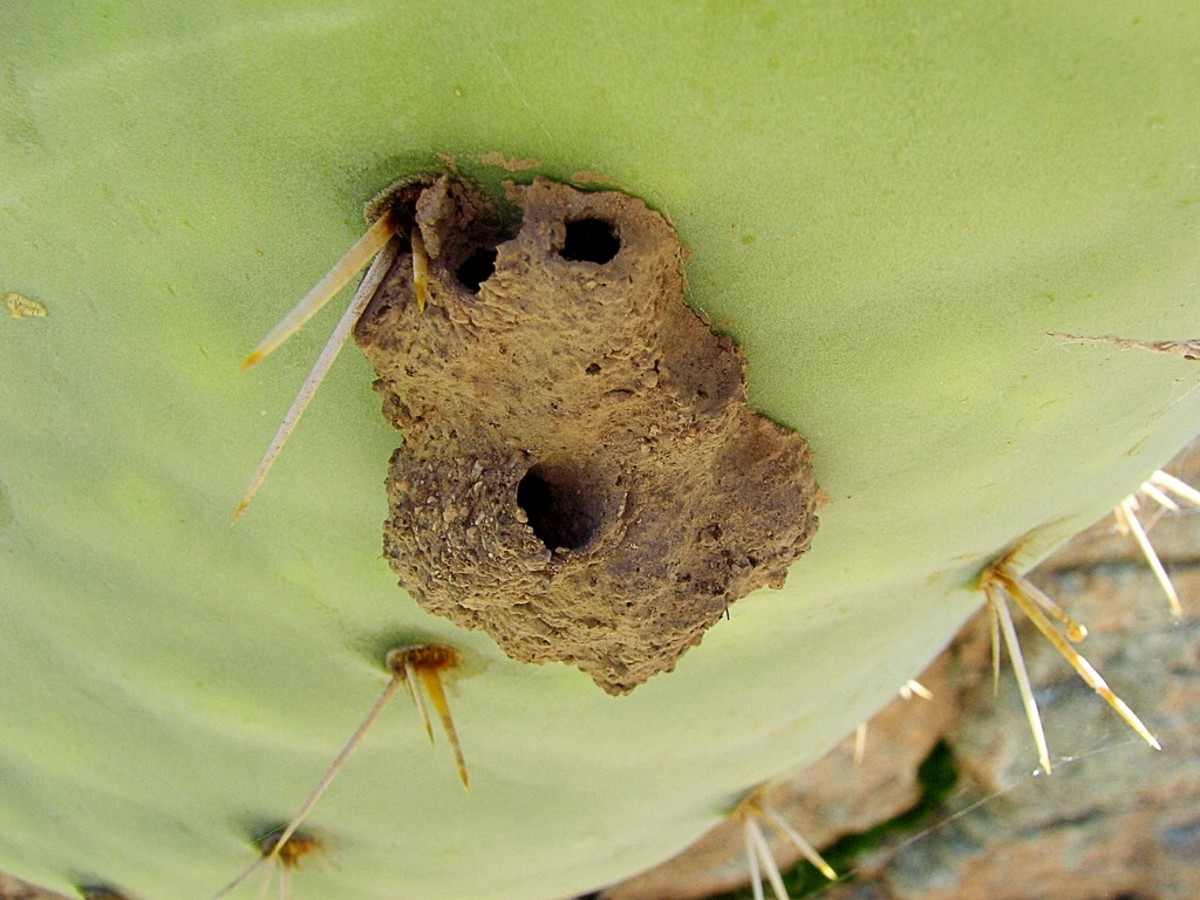 A mud dauber nest