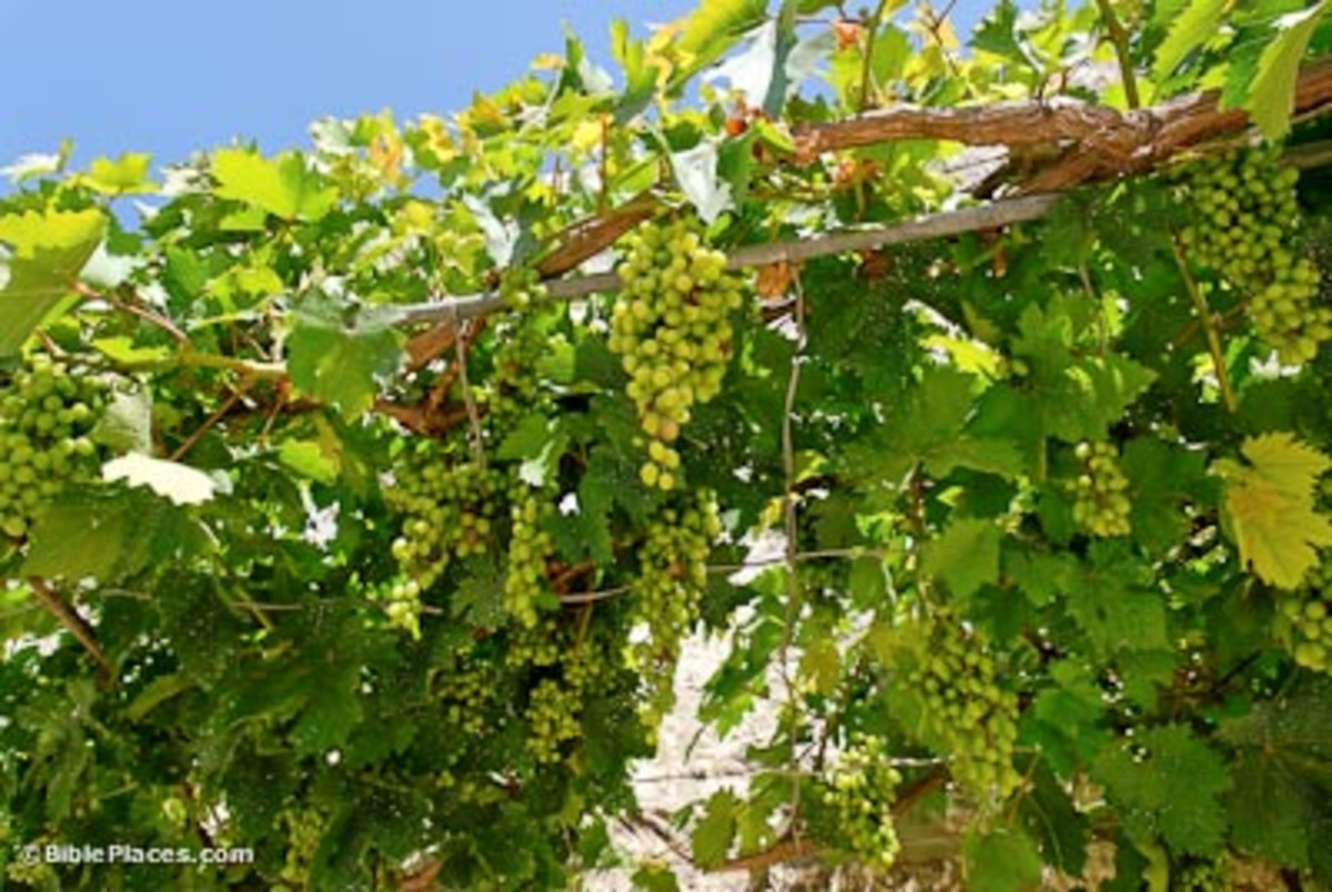 Grapevines and Vineyards