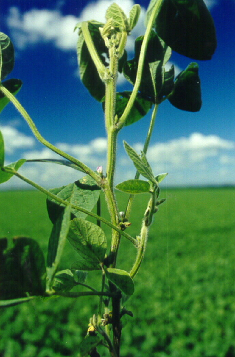 Soybeans growing in Illinois