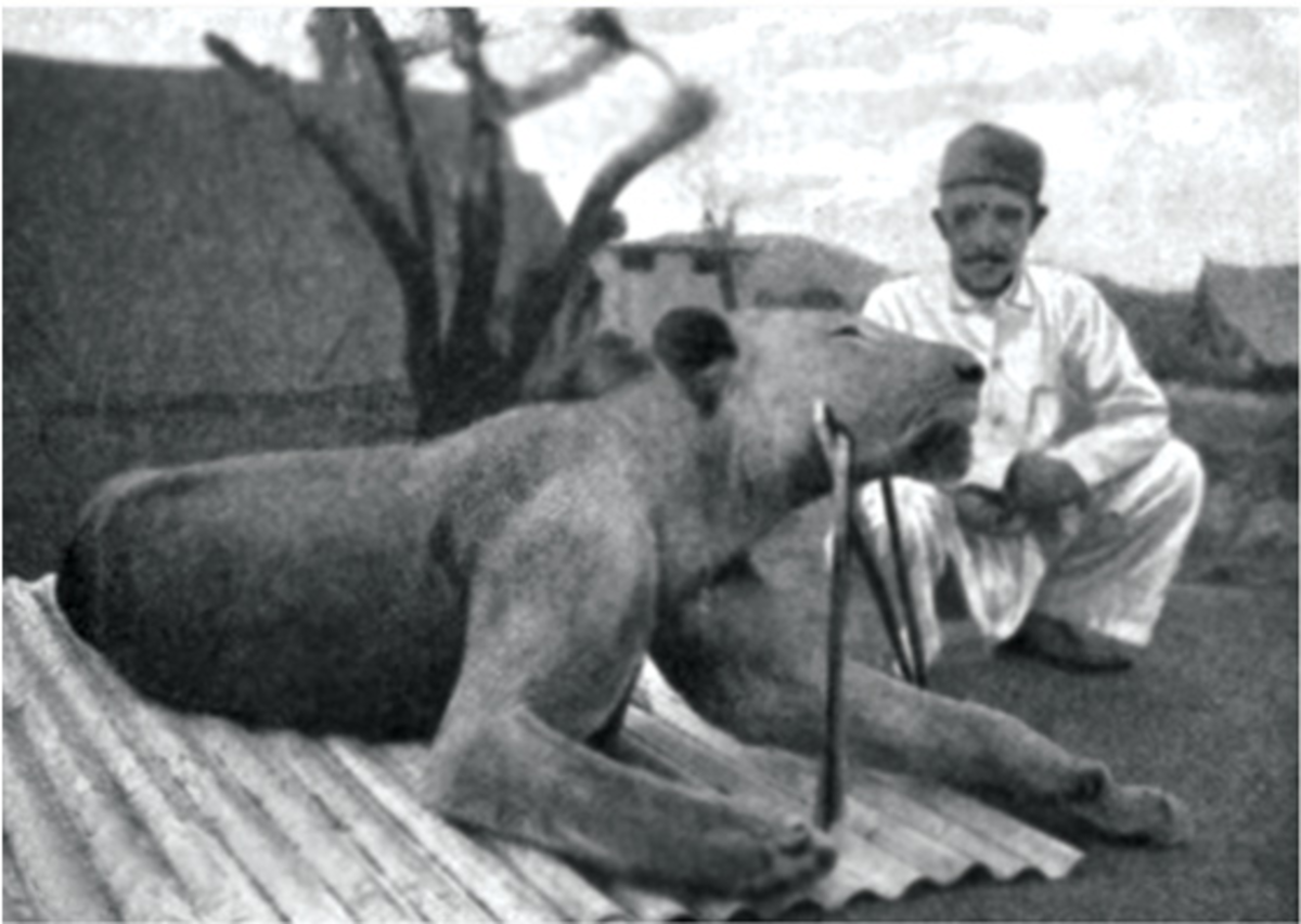 The second felled lion.