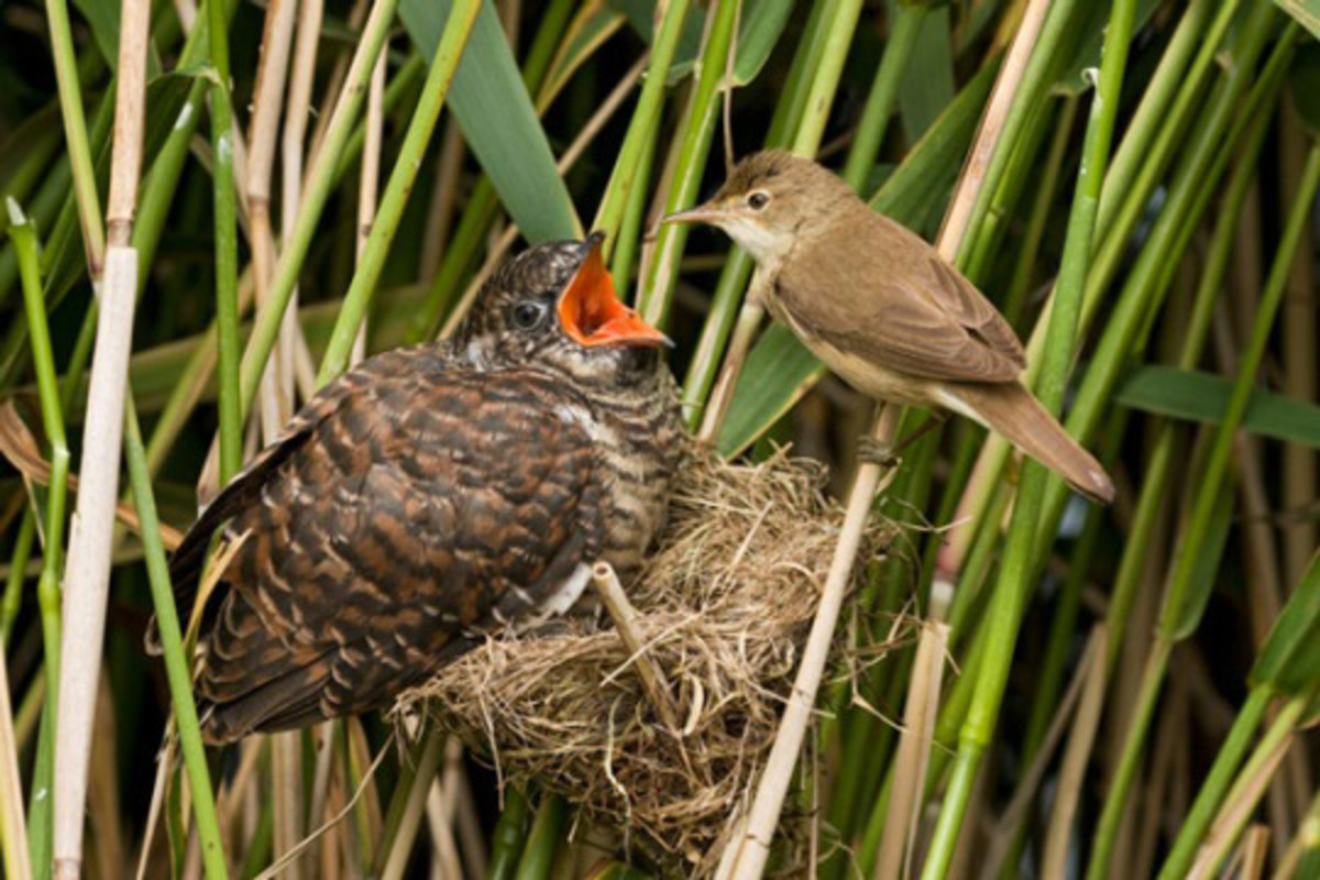 A reed warbler mother feeds a cuckoo chick which has been living in the warbler's nest