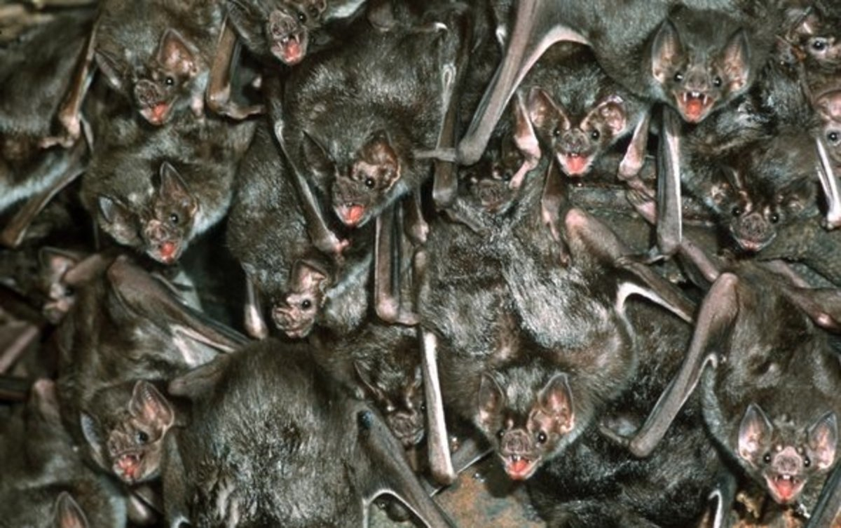 Vampire bats roosting