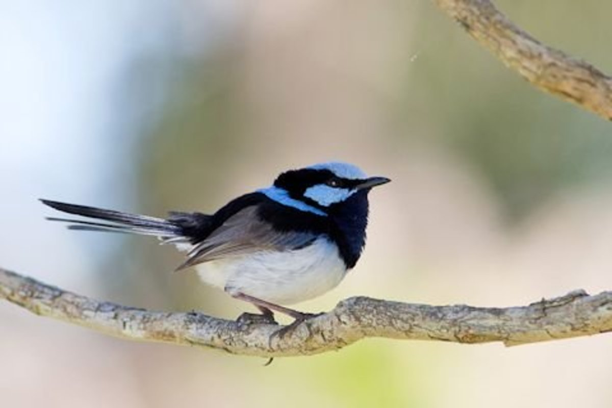 The Superb Fairy Wren is well known for its cooperative breeding strategy which helps to raise more chicks in a year