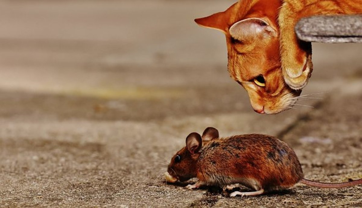 Cat and Mouse - Idiom