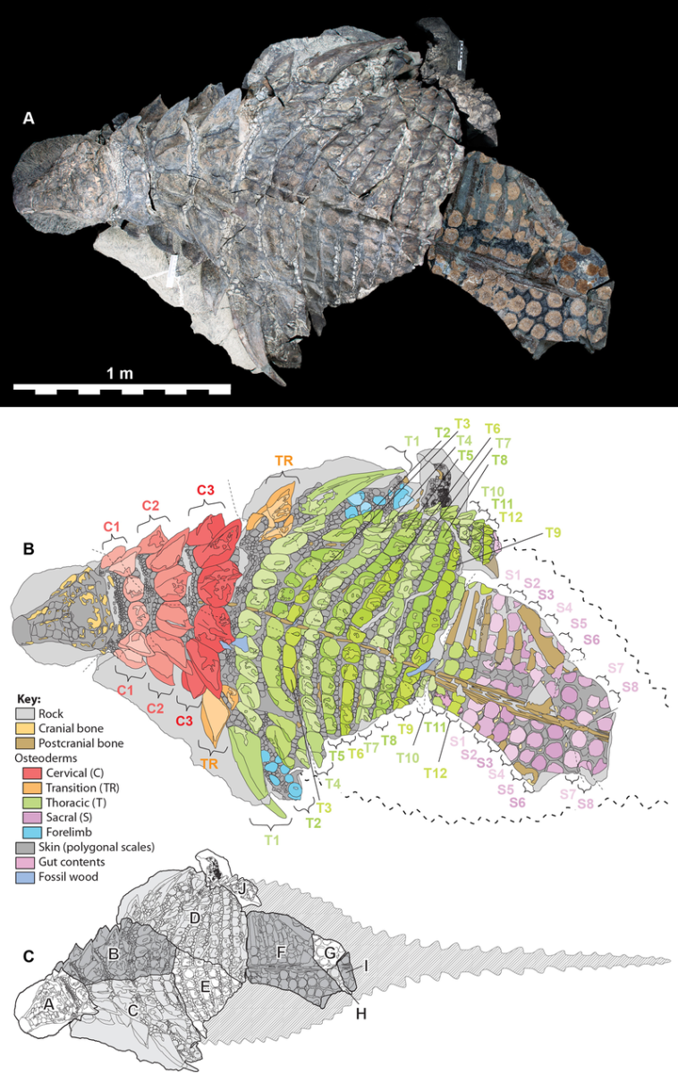 Borealopelta remains, fossil breakdown, and projected anatomy from above by Caleb M. Brown, one of the scientists who described the dinosaur.