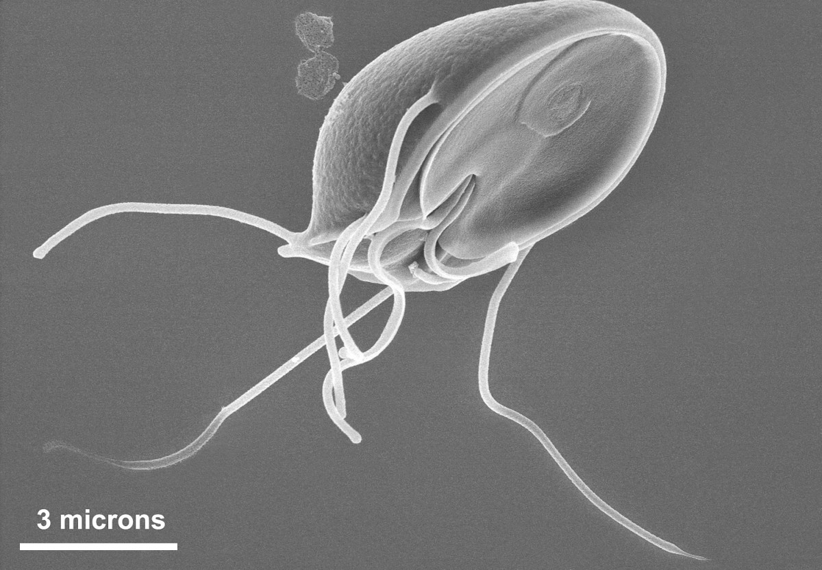 Giardia muris is found in mice. The concave disk is also found in other members of the genus.