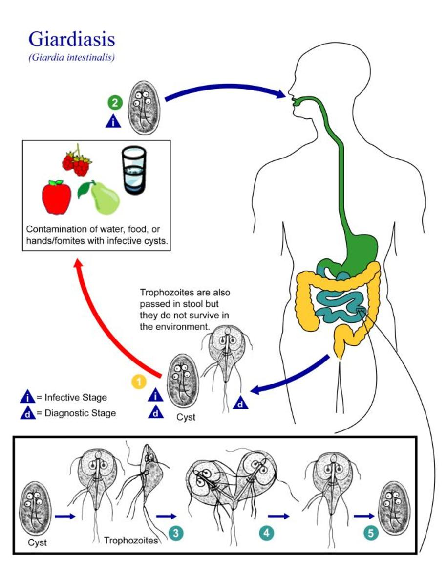 Giardia life cycle in humans