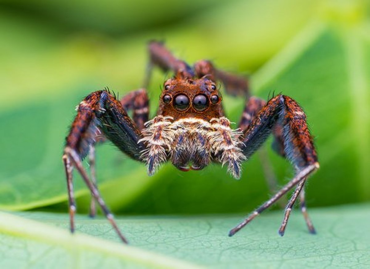 A portia lambiata jumping spider.  More interesting information on this particular species can be found here:  https://alchetron.com/Portia-labiata