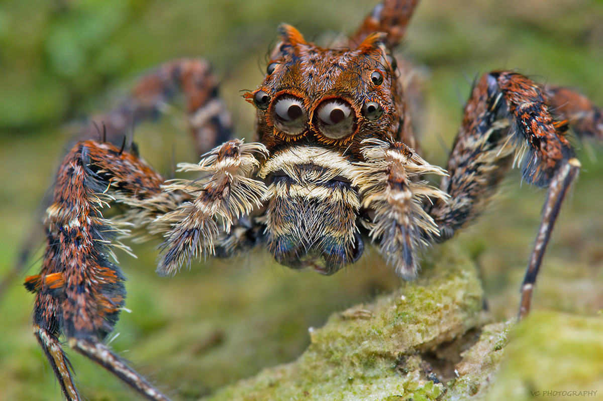What in the world could this portia spider be looking at?