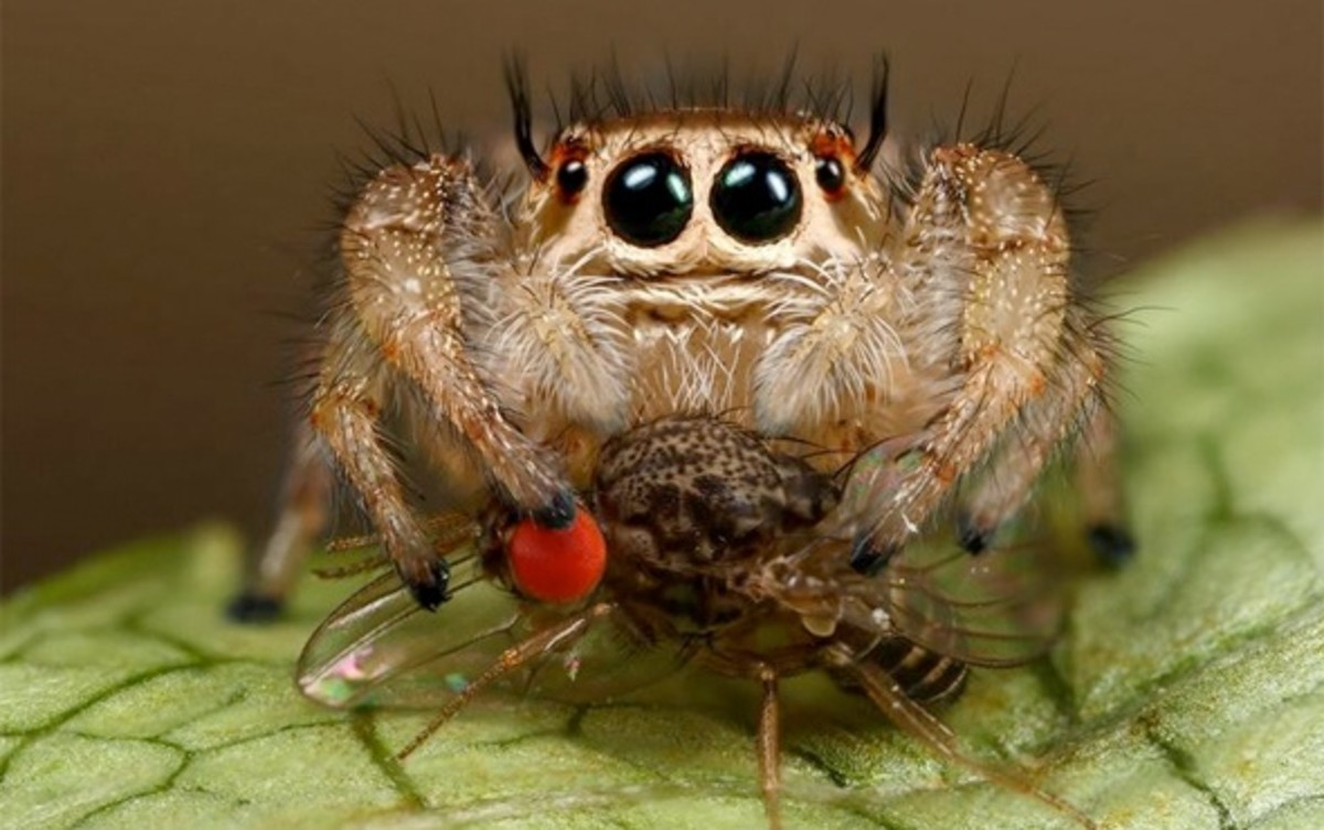 As you can see, portia spiders don't just eat other spiders.  According to the scientists from Lund University, Sweden; and the University of Basel in Switzerland, spiders eat about 800 tons of insects a year.  But, the question is: How do they know?