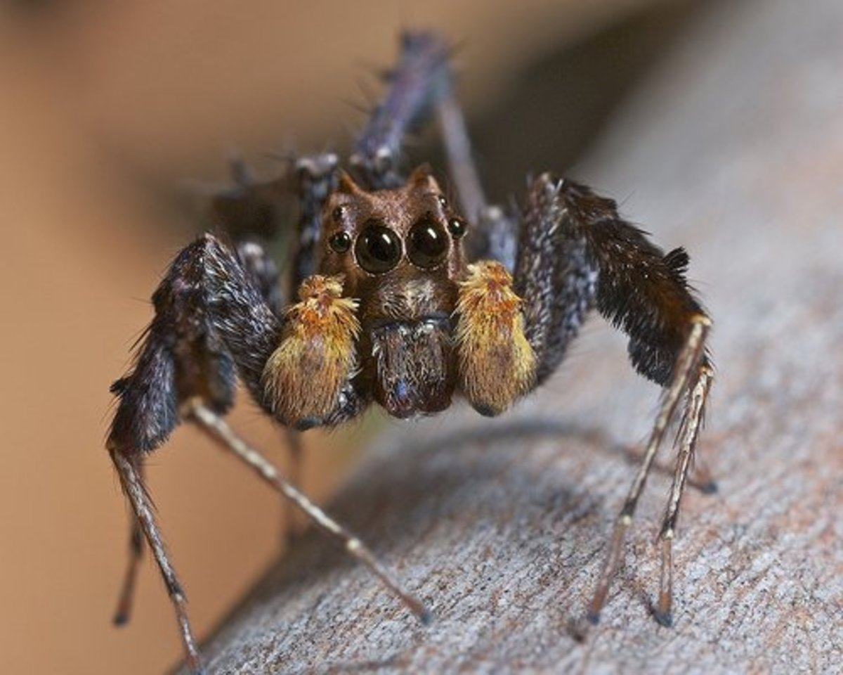 A portia fimbriata (fringed jumping spider) - found in Nepal, Sri Lanka; and from Taiwan to Australia.  Read more information about this particular species spider here:  https://alchetron.com/Portia-fimbriata