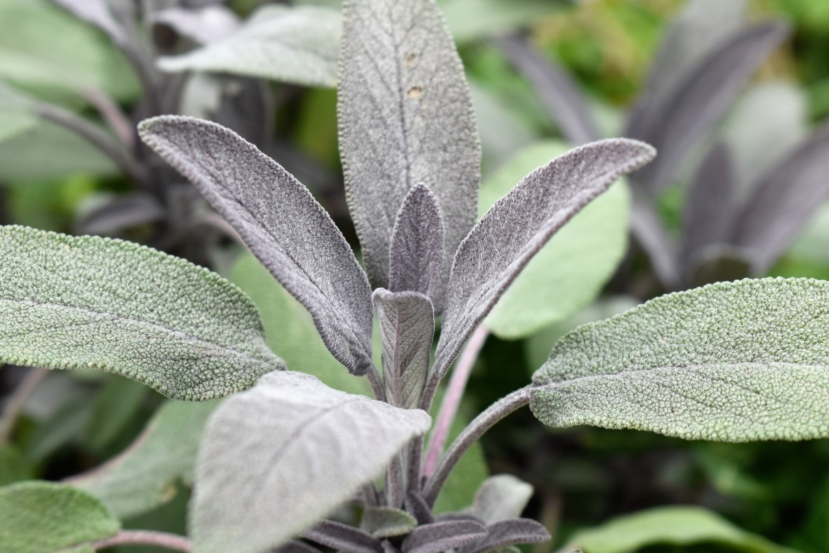 Note the big difference in leaf shape, texture and color in this picture as compared to the leaves shown in the blue salvia.
